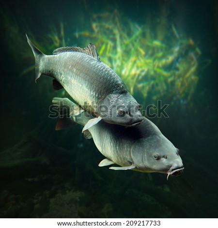 Underwater photo of a spawning big Carps (Cyprinus Carpio). - stock photo