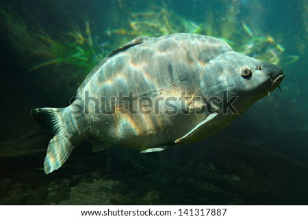Underwater photo of a trophy Mirror Carp (Cyprinus Carpio) sunbathing nearly at level in a fish pond. Typical behavior in hot summer day. - stock photo