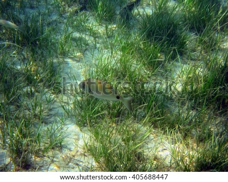 Underwater photo of fishes above the sea weed. - stock photo