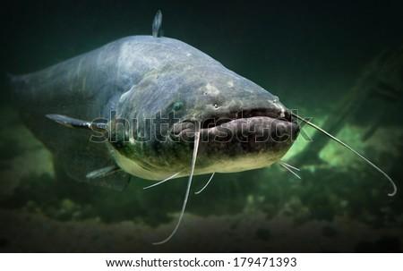 Underwater photo of The Catfish (Silurus Glanis). Biggest predatory fish in European lakes and river.  - stock photo
