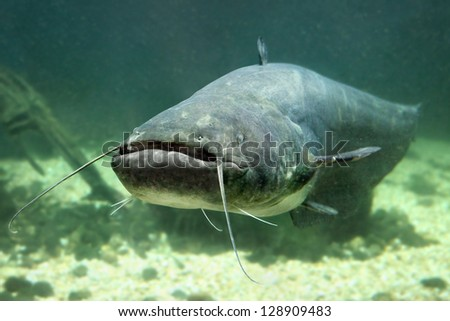 Underwater photo of The Catfish (Silurus Glanis). Close up with shallow DOF. - stock photo