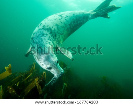 Underwater picture of grey seal in North Sea - stock photo
