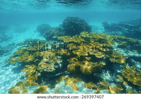 Underwater reef with elkhorn coral in the Caribbean sea - stock photo