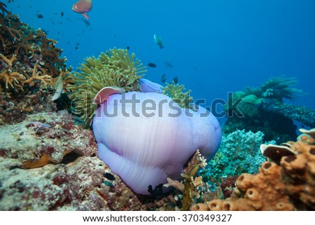 Underwater Reefscape Scene with a Giant Purple Anemone and Fish Hiding Inside - stock photo