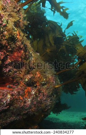 Underwater rocky reef with kelp forest on top - stock photo