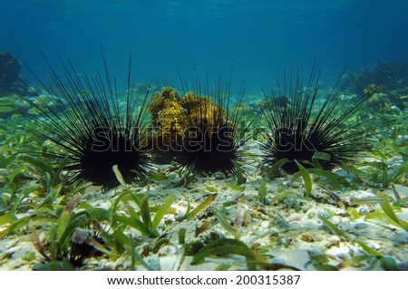 Underwater seabed with long spined sea urchin in the Caribbean sea - stock photo
