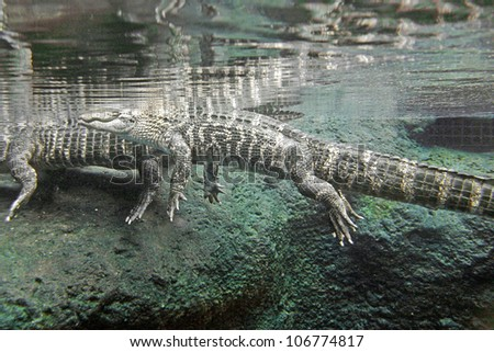 Underwater shot of alligators lurking beneath the surface of a pool of water - stock photo