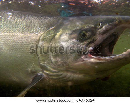 Underwater silver salmon - stock photo