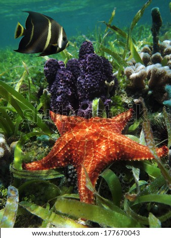 Underwater starfish with branching tube sponge and an angelfish  in the Caribbean sea, Belize - stock photo