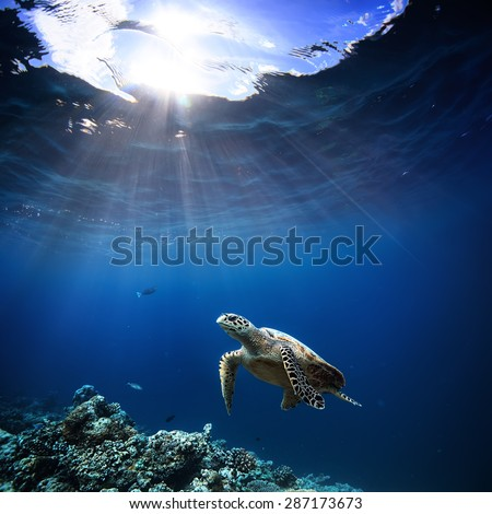 Underwater wildlife with animals, Divers adventures in Maldives. Sea turtle floating over beautiful natural ocean background. Coral reef lit with sunlight trough water surface. - stock photo