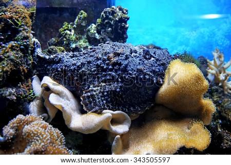 Underwater world - exotic  stone-fish in an aquarium - stock photo