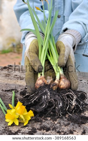 unearthed narcissus bulbs held in a gloved hand - stock photo