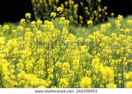 unfocused canola or rapeseed plants in the farm field - stock photo