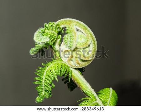 Unfurling fiddlehead fern frond in a garden. - stock photo