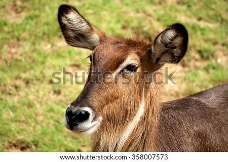 Ungulate Zoo Bushbuck Stock ...