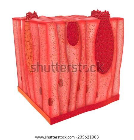 Unicellular Epithelium - stock photo