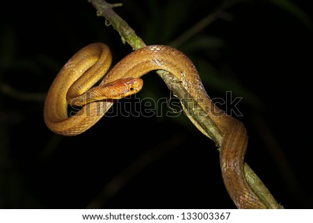 Unidentified snake species hangs in a tree above a river in the rainforest of Ranomafana, Madagascar. - stock photo