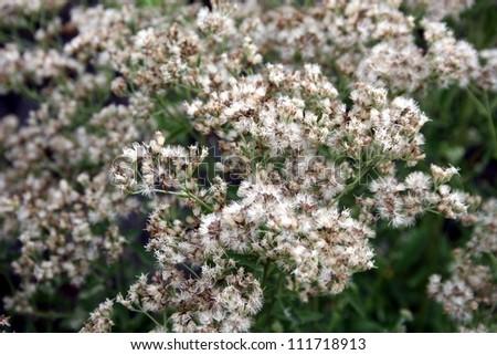 unknown flower - stock photo