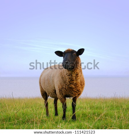 Unknown sheep, photo made in the evening - stock photo
