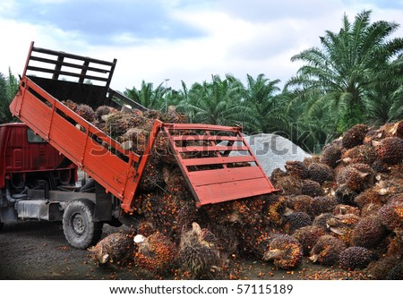 Unloading fresh palm oil fruit from truck. - stock photo