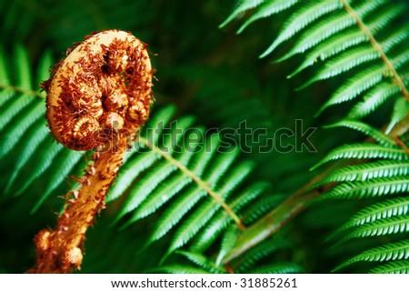 Unravelling fern frond closeup, New Zealand symbol - stock photo