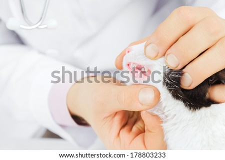 Unrecognizable male veterinarian examines teeth of a cat - stock photo