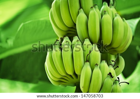Unripe bananas in the jungle close up - stock photo