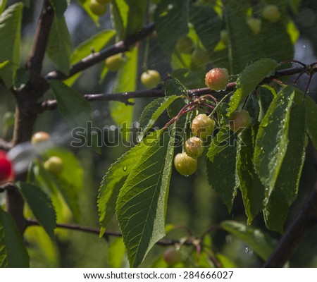 Unripe berries cherries in the center with clear drops of water from Device of spraying pesticide. - stock photo