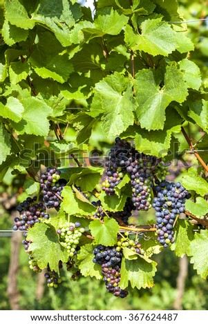 unripe blue grapes in vineyard, Lower Austria, Austria - stock photo