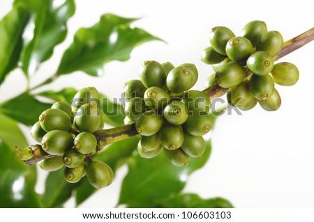 Unripe coffee beans - stock photo