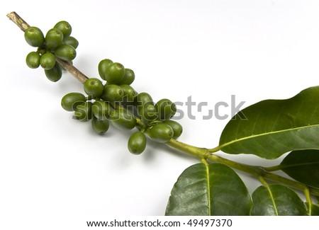 Unripe coffee still on its branch. - stock photo