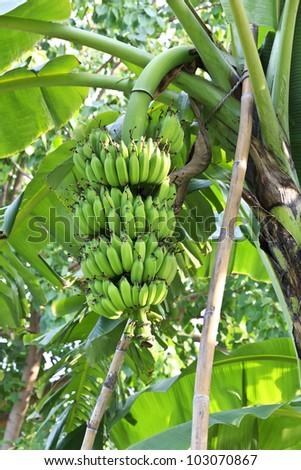 Unripe cultivated bananas in public park - stock photo