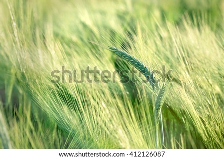 Unripe field of agricultural crops ( wheat, oat, rye, barley) - stock photo