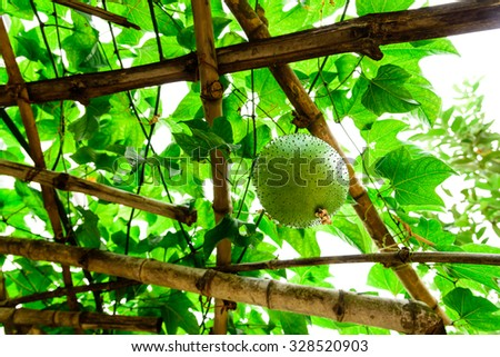 Unripe Momordica Cochinchinensis Fruit (Gac Fruit, Spiny gourd, baby Jackfruit, Cochinchin gourd) hanging on a branch of bamboo structure. It is cultivated in Southeast Asian and used as food,medicine - stock photo