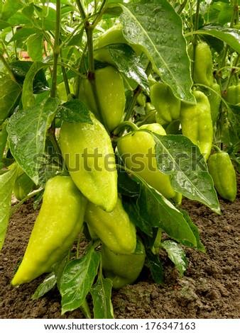 unripe sweet peppers growing in a garden - stock photo