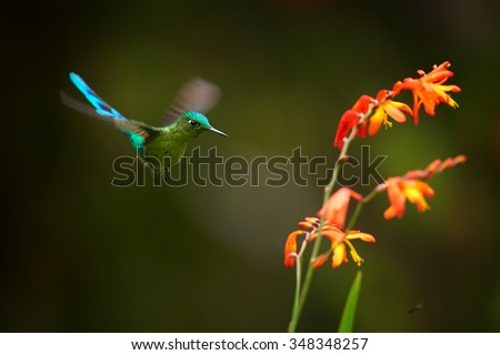 Unusual hummingbird Long-tailed Sylph Aglaiocercus kingi showing off its best colors  in its natural environment, hovering next to red and orange colored flowers. Dark green background. - stock photo