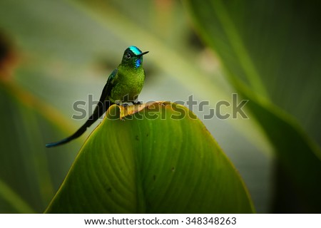 Unusual hummingbird Long-tailed Sylph Aglaiocercus kingi showing off its best colors in its natural environment, perched on big leaf. - stock photo