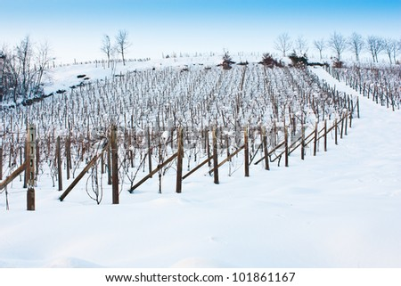Unusual image of a wineyard in Tuscany (Italy) during winter time - stock photo