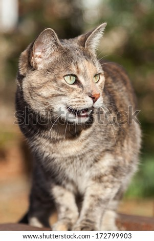 Unusual-looking gray and ginger tortoiseshell-tabby cat looking up and meowing with an open mouth - stock photo