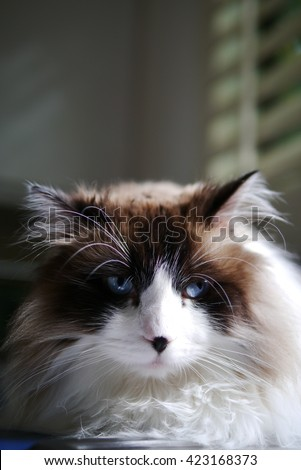 Up Close Portrait of Bi Color Brown White Ragdoll Call with Black Nose and Beautiful Blue Eyes - stock photo
