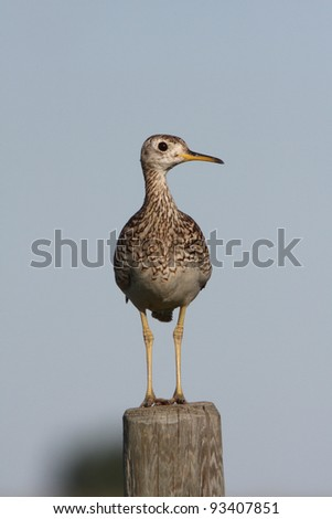 Upland Sandpiper on fence post - stock photo