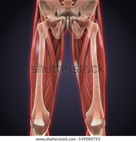 Upper Legs Muscles Anatomy - stock photo