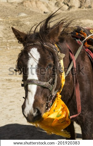 Upper Mustang horse eating a prayer flag. Humor. Vertical view - stock photo