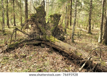 Uprooted trees. Fallen tree in the forest. Forest landscape. The roots of the tree. Old big tree. Bears in the woods. Shishkin's paintings. - stock photo