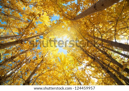 Upward view of Fall Aspen Trees , Leh District in the state of Jammu and Kashmir, India. - stock photo