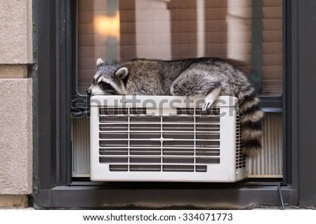 Urban Wildlife: raccoon sleeping on air conditioner - stock photo