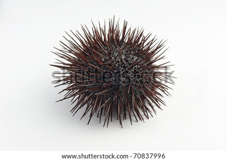 Urchin macro photography, Close up at white back-round - stock photo