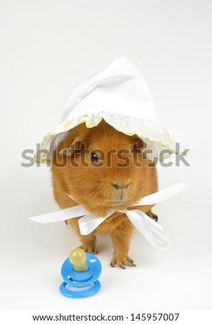 US-Teddy guinea pig, baby bonnet and comforter - stock photo