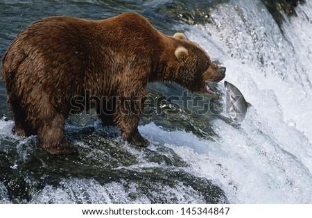USA Alaska Katmai National Park Brown Bear catching Salmon in river side view - stock photo