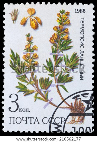 USSR - CIRCA 1985: a stamp from USSR, shows medicinal plant from Siberia - thermopsis, circa 1985. - stock photo